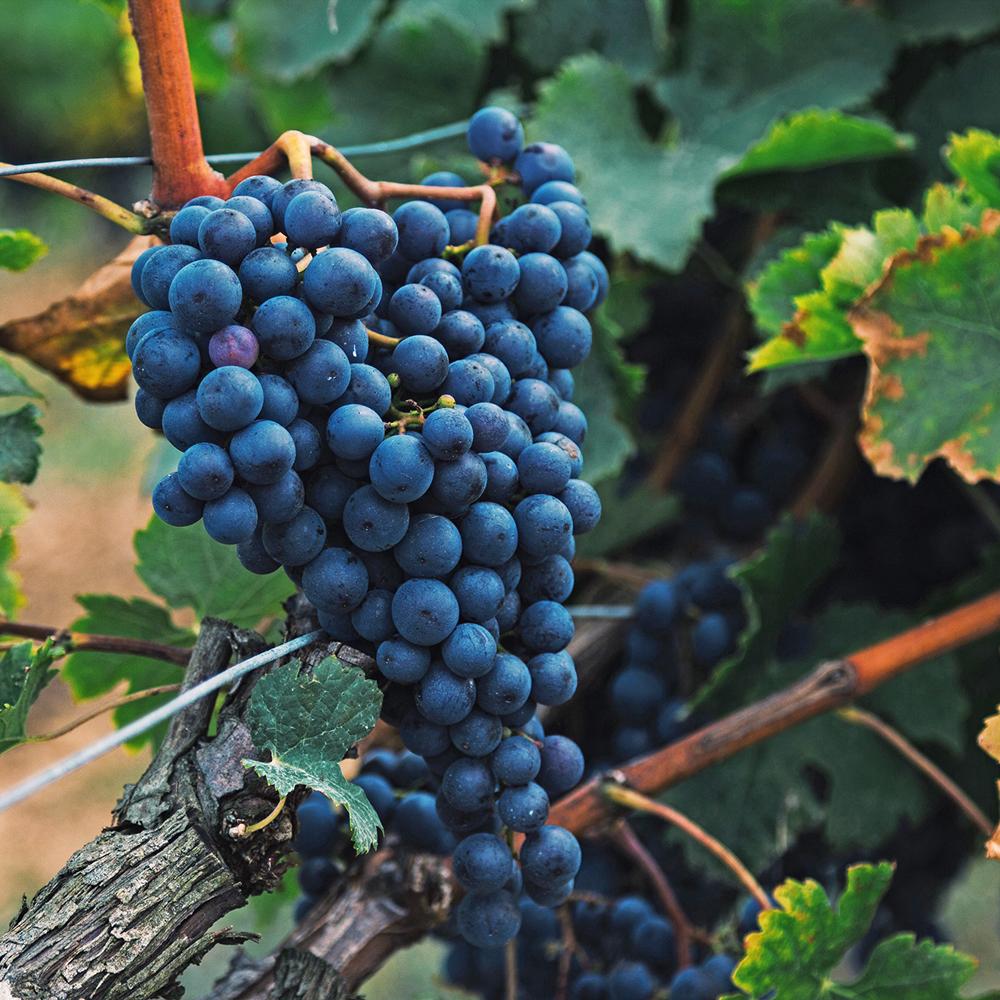 rote Weintrauben an der Weinrebe in Kalifornien
