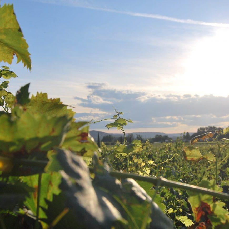 Weinberg mit Weinstöcken, Weinreben in Deutschland